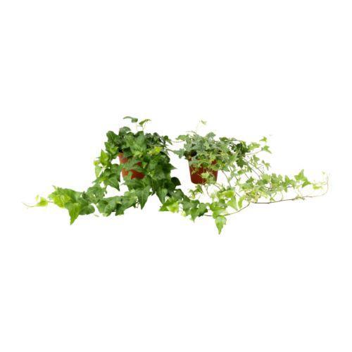 hedera-helix-potplant__67451_pe181292_s4