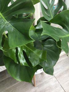 Monstera plant - Ikea shoplog Lievelyne